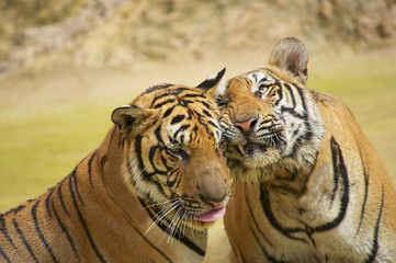 Two tigers rub cheeks.