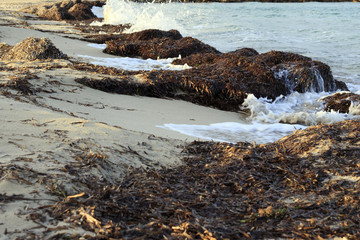 Dry Posidonia Seaweed
