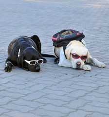 Two dogs lying on the ground and wearing sunglasses