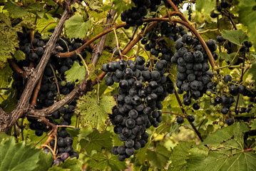 Plump Ripe Grapes