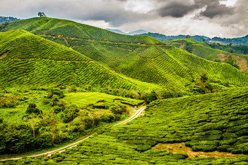 Green Tea Plantation with Path, Cameron Highlands, Malaysia
