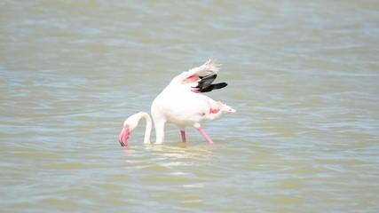 pink flamingo in Sardinia