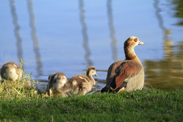 Egyptian geese family - Fairchild gardens