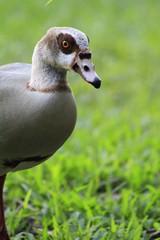 Egyptian Goose - Fairchild Gardens