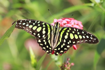 Green Striped Swordtail butterfly - Africa