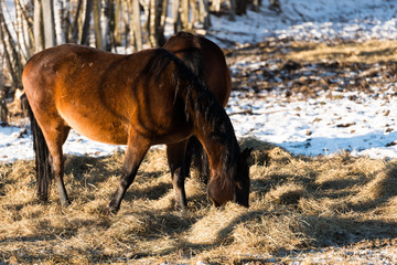 Brown horse in winter