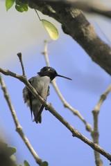Humming bird standing on a branch