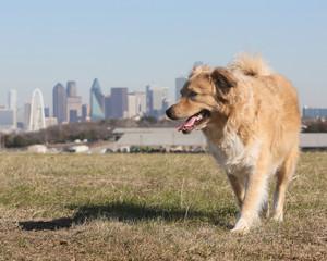 Texas Yellow Dog against Dallas Skyline