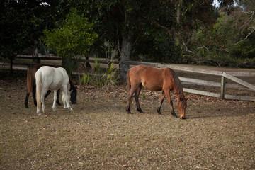 Feral Horses on Comberland Island, GA, USA