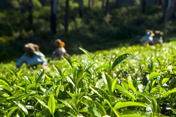 Tea Pickers Working Kerela India Concept