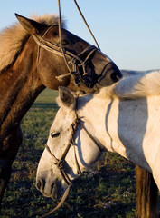 Two Horses Touching And Bonding With Each Other
