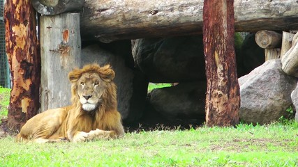 The lions in Nature
