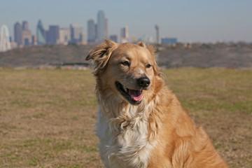 Texas Dog, Downtown Dallas Skyline