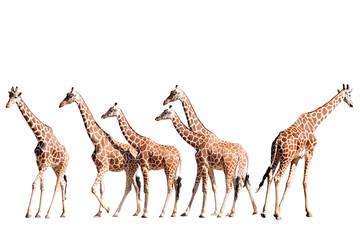 Giraffes Walking Isolated on White