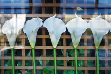 Five White Flower Calla in Store Window