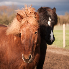 Zwei junge Islandpferde