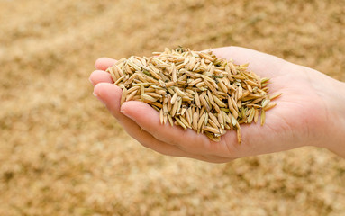 Closeup rice on farmer hand
