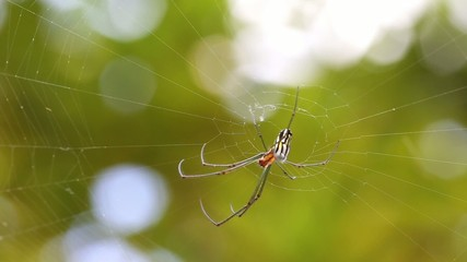 Black and Yellow Argiope spider on web in the garden