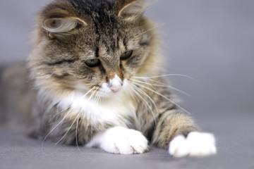 portrait of a beautiful fluffy cute cat