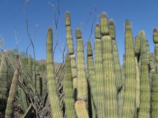 Tuscon Cactus