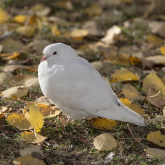 white dove on autumn leaves