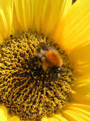 Bumblebee Sunflower