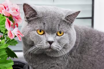 gray british cat with yellow eyes