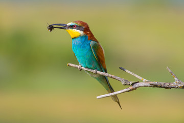 Golden bee-eater7