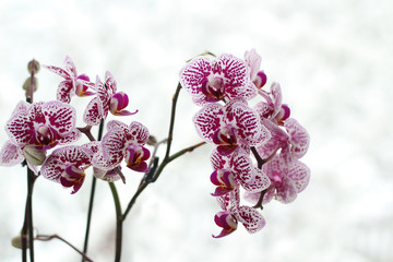 Orchid flowers on a background of a winter window