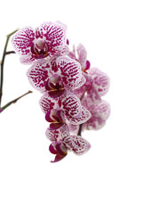 branch of orchid flowers on a white background