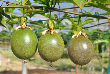 passion fruit on the vine