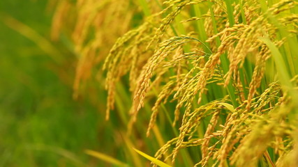 close up paddy on stalk in field swaying by wind