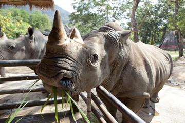 African black rhinoceros
