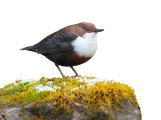 White-throated dipper on white