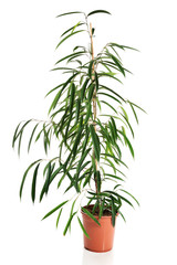 Photo of dracaena in a pot