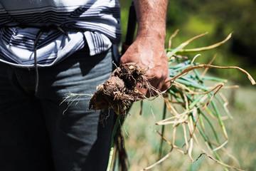 Campesino cebolla larga
