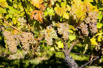 vineyard, Palava, Czech Republic