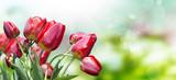Fototapety Garden tulips
