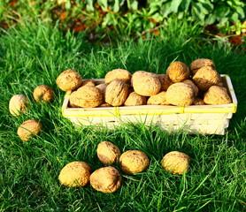 corbeille de noix bio,récolte au jardin