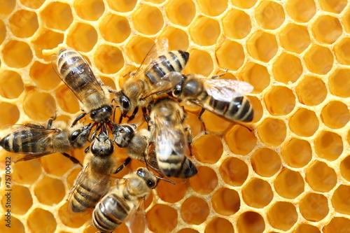Foto op Canvas Bee mehrere Honigsammler