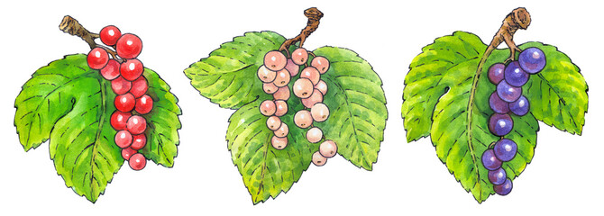 Watercolor painting of a set of fruit: currant