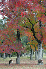 Nara Park in Autumn