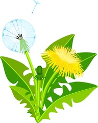 Dandelion plant with yellow flower