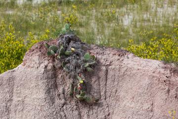 Struggling Cactus
