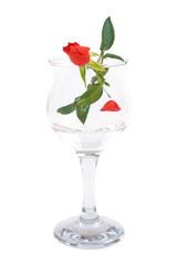 Red rose flower in wineglass isolated on white background
