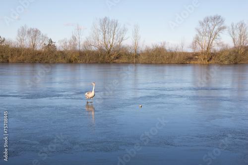 canvas print picture Skating Swan At lake Königsdorf