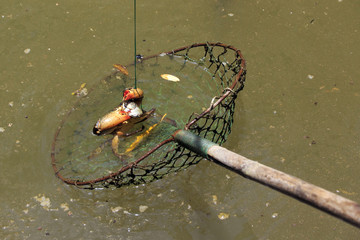 Crabs dangling from a fishing net