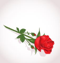 Elegant rose for design your greeting card