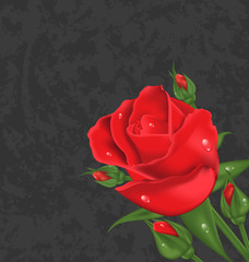 Beautiful rose isolated on grunge background