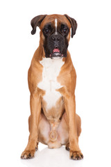 red boxer dog sitting on white
